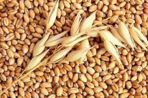 Xuất khẩu lương thực thứ hai thế giới nhưng vấn phải nhập khẩu lúa mỳ
